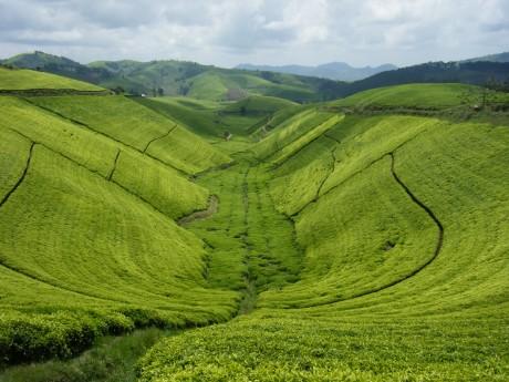 """Résultat de recherche d'images pour """"thé rwanda"""""""
